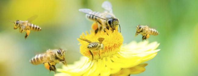 Pčelari će stručno skidati i udomiti rojeve pčela