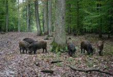 Kolegij GV Gradačac zatražio hitnu akciju zbog šteta u poljoprivredi koje su prozrokovale divlje svinje