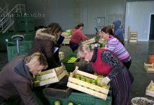 Kruške i jabuke iz Gradačca na tržištu Ruske Federacije