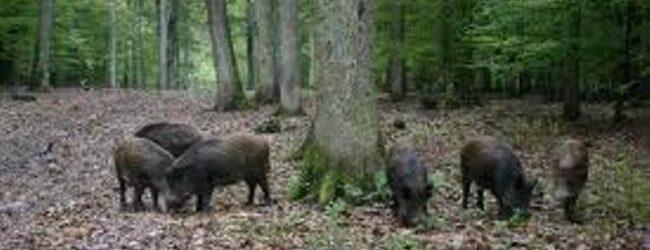 """LOVAČKO DRUŠTVO """"JELEN"""": Obavijest o poduzetim mjerama i radnjama vezano za štetu koju čine divlje svinje u poljoprivredi"""